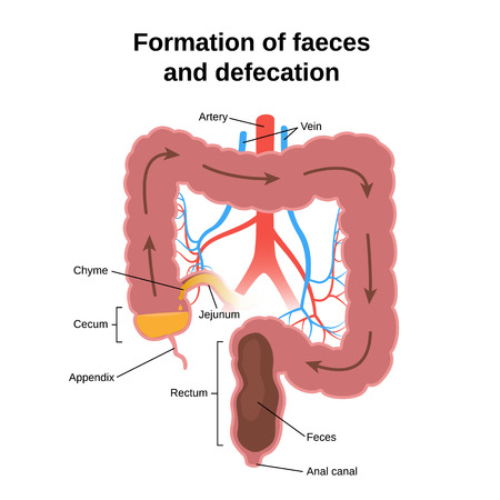 formation of faeces and defecation, the circuit structure of the colon