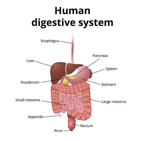 de locatie van het maagdarmkanaal in het lichaam, het menselijke spijsverteringsstelsel Stock Illustratie