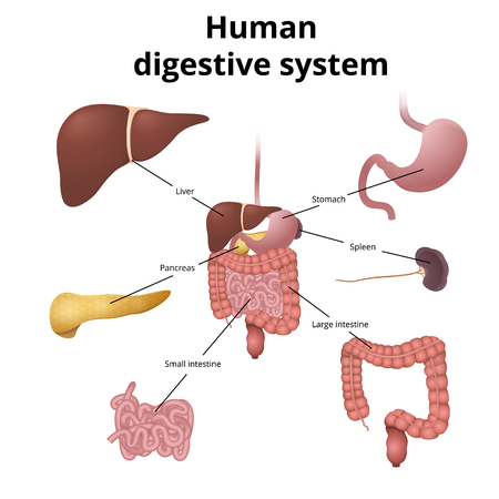 git: the location of the gastrointestinal tract in the body, the human digestive system