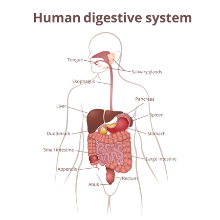 tract: the location of the gastrointestinal tract in the body, the human digestive system