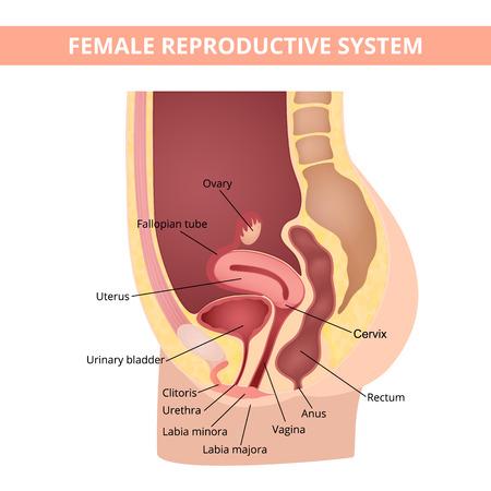 aparato reproductor: sistema reproductivo Vectores