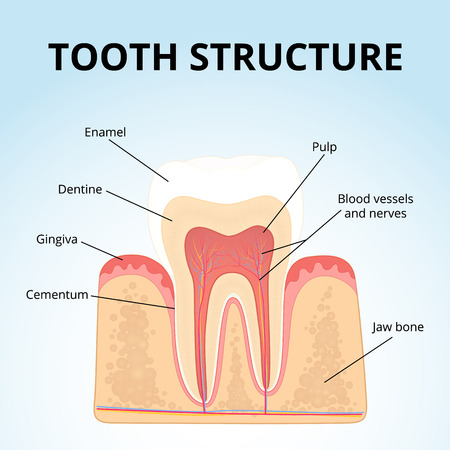 pulp: structure of human teeth Stock Photo