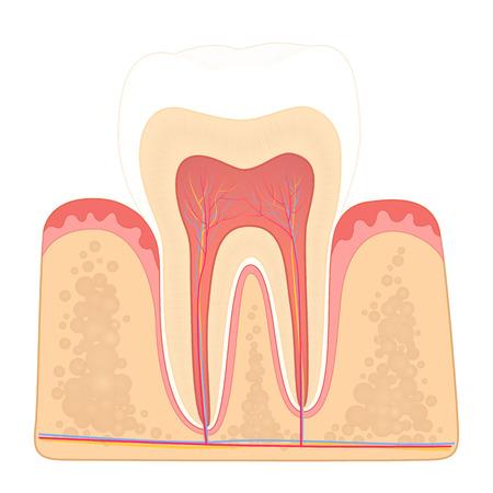 structure of human teeth Foto de archivo