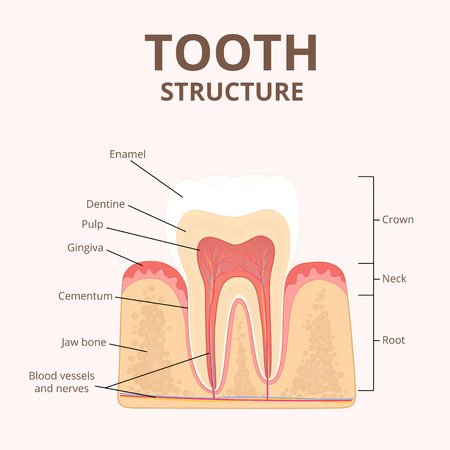 sectional: structure of human teeth Stock Photo