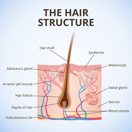 sebaceous gland: The structure of the hair