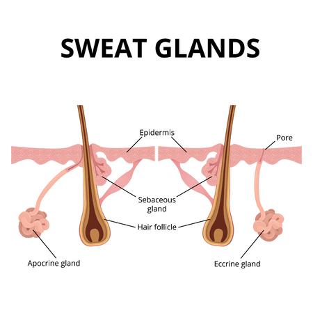 sweat and sebaceous gland  イラスト・ベクター素材