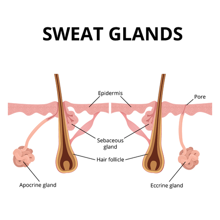 sweat and sebaceous gland Stock Illustratie