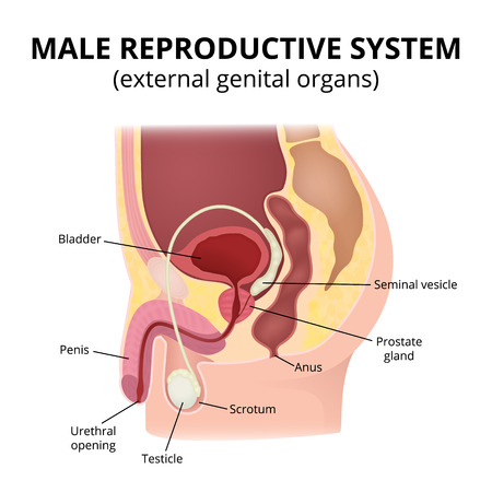 Male Reproductive System Royalty Free Cliparts, Vectors, And Stock ...