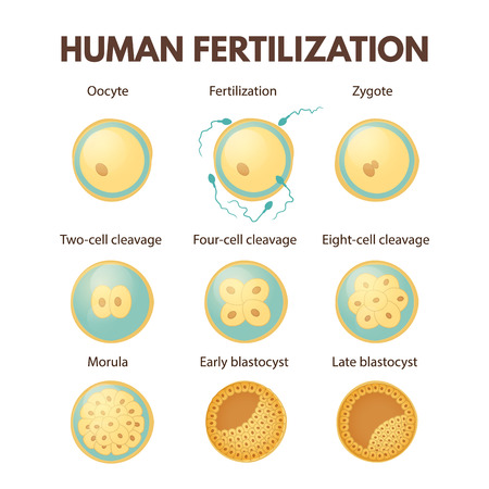 Human fertilization