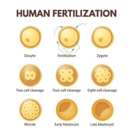 The process of cell division in the early stages of development. Human fertilization from zygote to blastocyst