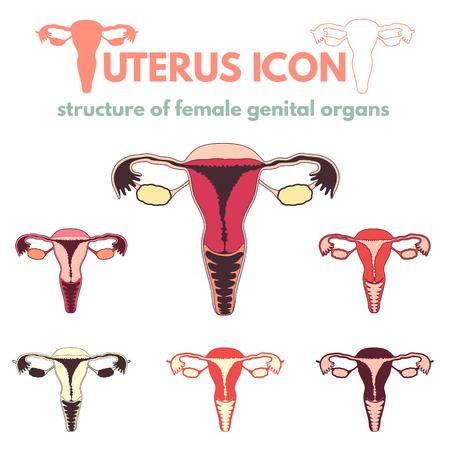 Estructura De Los órganos Femeninos, Cartílago Uterino Y Ovarios ...