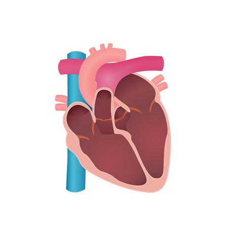 anatomy of the human heart Stock Illustratie