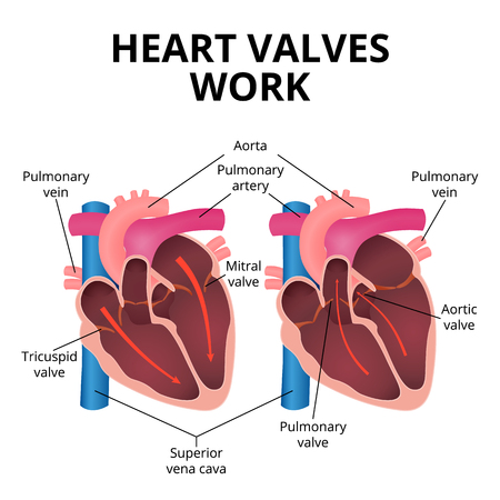 anatomy of the human heart Illustration
