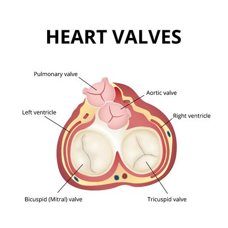heart valves anatomy infographic Vector illustration.  イラスト・ベクター素材