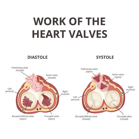 heart valves anatomy infographic Vector illustration.