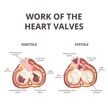 heart valves anatomy infographic Vector illustration. Illustration
