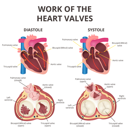 Anatomy of the human heart vector illustration. 일러스트