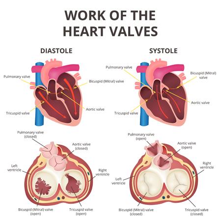 Anatomy of the human heart vector illustration. Stock Illustratie