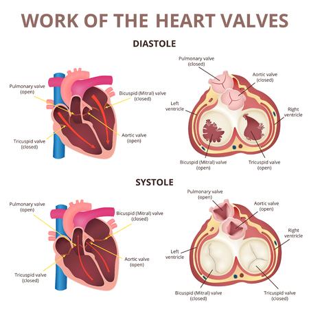 anatomy of the human heart  イラスト・ベクター素材