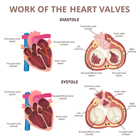 anatomy of the human heart 일러스트