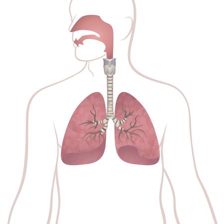 Human lungs, trachea and nasopharynx illustration. Illustration