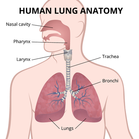 Human lungs, trachea and nasopharynx illustration. Stock Illustratie