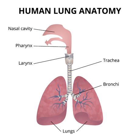 Human respiratory system illustration.