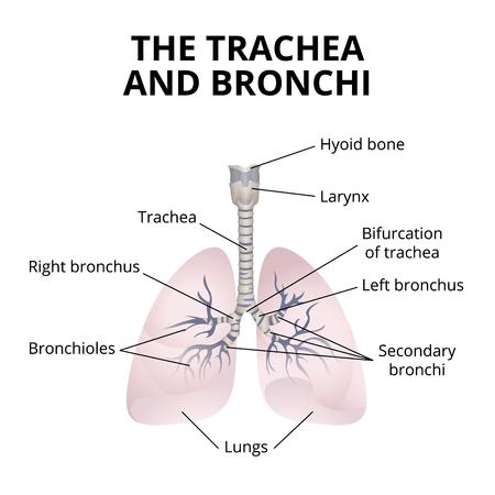 human respiratory organs vector illustration