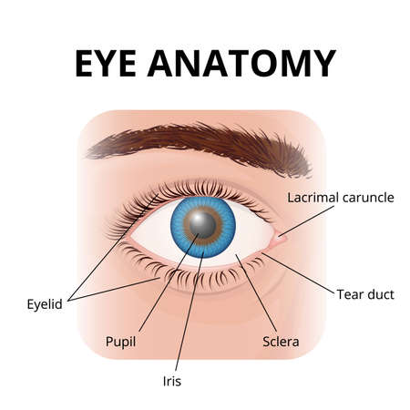 structure of the human eye with description