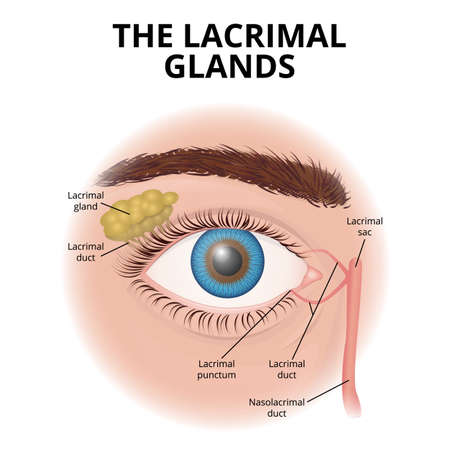Structure of the human eye and lacrimal glands Ilustracje wektorowe