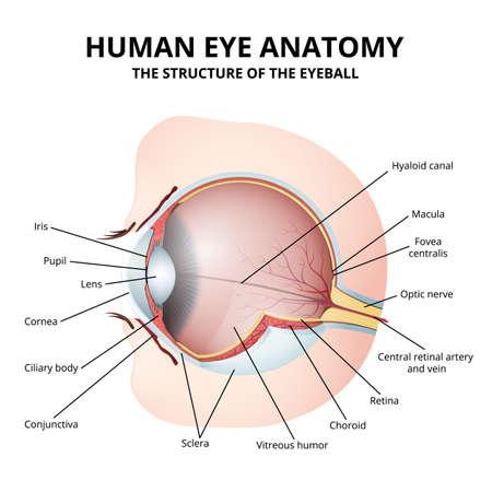 Schematic diagram of the human eye anatomy