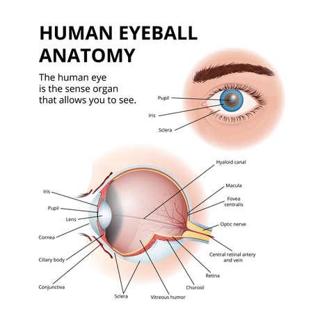 anatomy of the human eyeball, schematic medical diagram