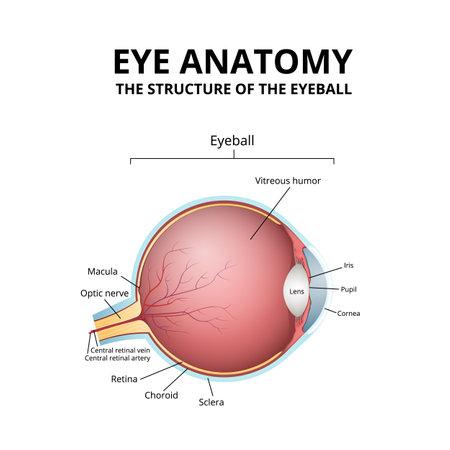 human eye structure, scheme medical diagram eyeball Ilustración de vector