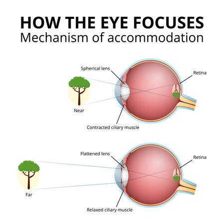 structure of the eyeball, lens accommodation mechanism