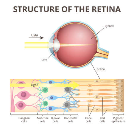 eyeball in section, structure of the retina, close-up