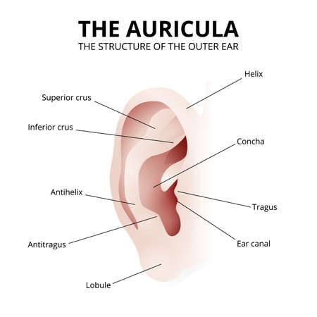 the structure of the human ear, auricle Vektorgrafik