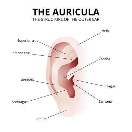the structure of the human ear, auricle Vektoros illusztráció