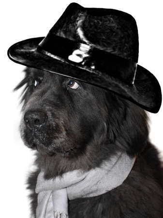 Portrait of a Newfoundland with scarf and hat