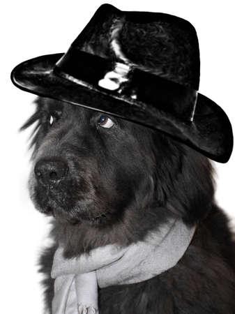 cane terranova: Ritratto di un Terranova con sciarpa e cappello Archivio Fotografico