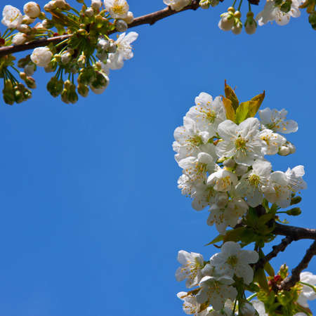 Cherry blossoms in spring with blue sky in background Stock Photo