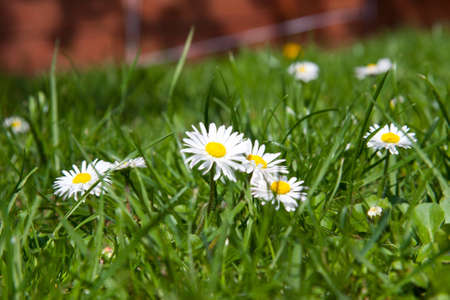 Daisies and lawn Stock Photo