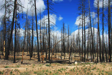 burned: Forest in the first summer after the fire Stock Photo