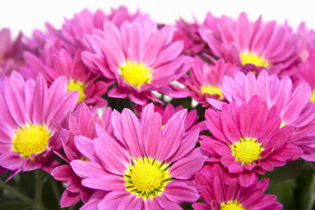 Closeup of pink aster blossoms Stock Photo