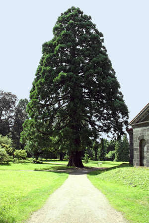 Percorso verso un enorme sequoia in un parco