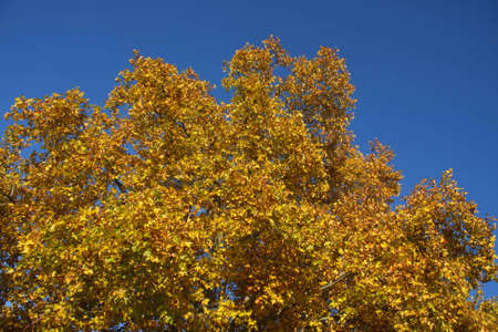 Yellow leaves on a tree in autumn Stock Photo - 11207605
