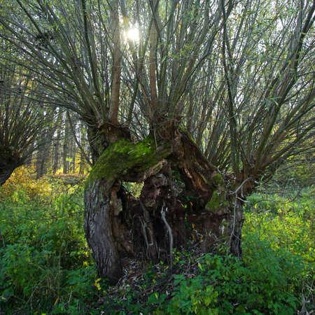 salix alba: Square shot of a white willow Stock Photo