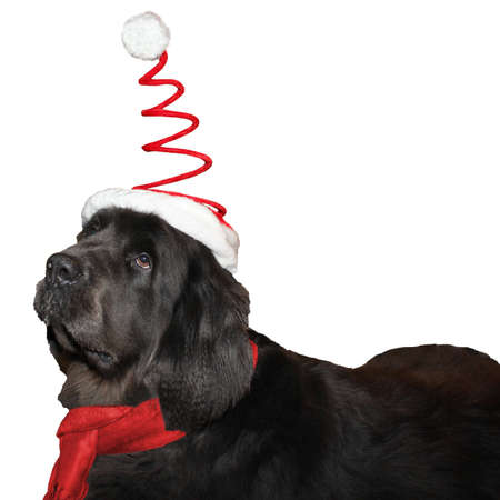 A newfoundland wearing a red scarf and a christmas hat photo