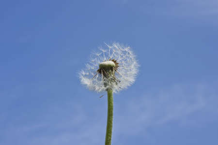 Blowball over blue sky photo
