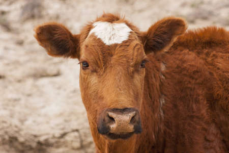 Calf in frontal in horizontal format Stock Photo