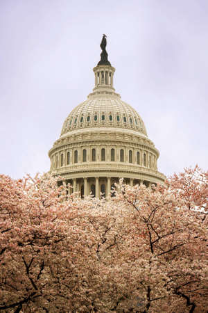The Capitol in Washington D C  during cherry blossom Stock Photo